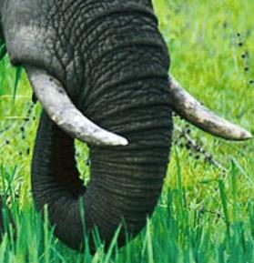 gading-gajah
